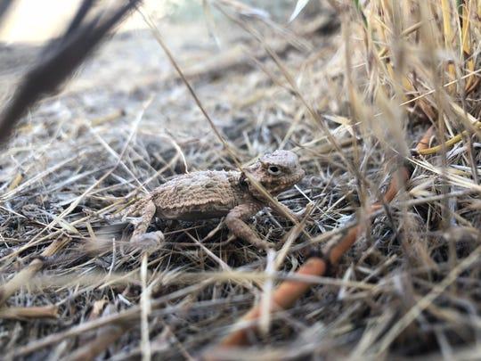 A juvenile horned lizard, P. platyrhinos, hides in sagebrush/bunchgrass habitat.