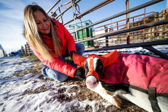 Holly Poad demonstrates how Moo Muffs work on a two-day old calf.