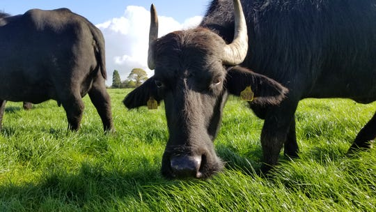 The Lynch family has Ireland's first and only herd of milking water buffalo. The dairy produce a variety of cheeses including mozzarella, parmesan, and haloumi.