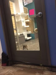 Quilty, a cat at a Houston animal shelter, has gained viral fame for his antics breaking himself and other cats out of their confines at the shetler