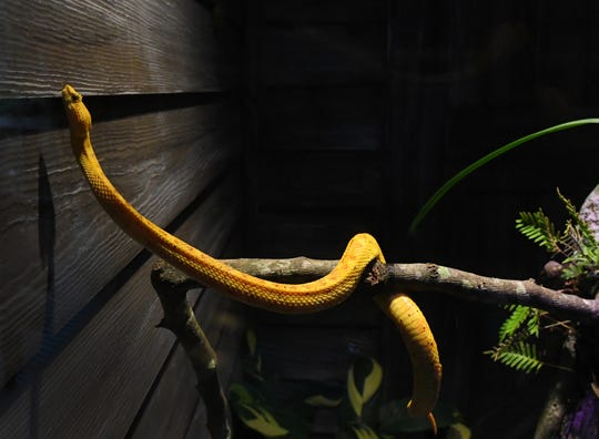 A venomous eyelash viper. The La Selva exhibit at Brevard Zoo in Viera is undergoing a major addition called Rainforest Revealed, which includes giant otters from South America, and a snake house with venomous and non-venomous snakes.