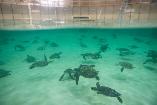 Cold stunned green sea turtles swim in a tank at the Texas State Aquarium's Rescue Center on Thursday, Nov. 14, 2019.