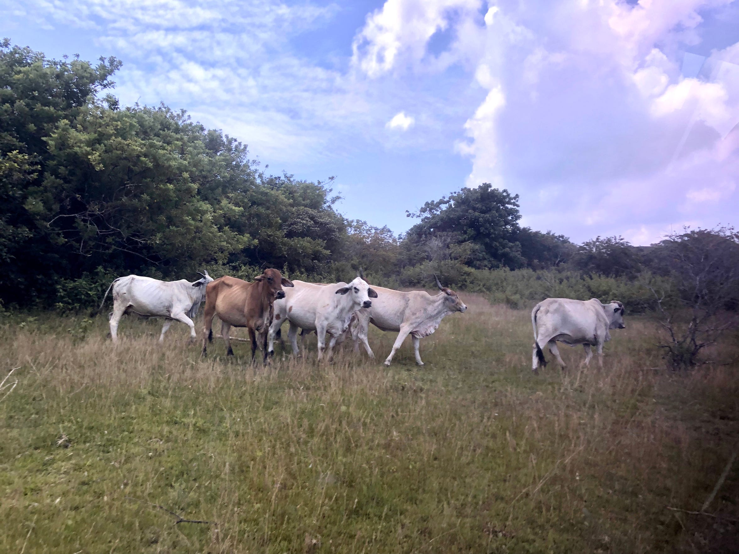 With their floppy ears and distinctive hump, Brahman cattle are well adapted to the Philippine heat.