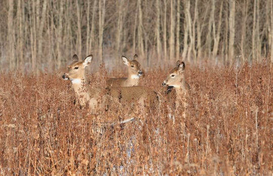 White-tailed deer is an example of a native Wisconsin species that is well-adapted to survive cold and snow.