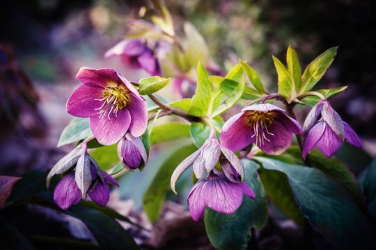 Hellebores, also known as Lenten Roses, are hardy perennials that may retain their flowers in winter.