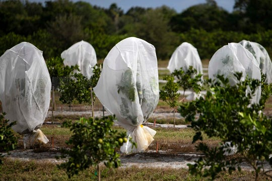 Plastic reflective screens placed over citrus trees are used protect the citrus grove from invasive bugs, as pictured, during a tour, Thursday, Nov. 14, 2019, at the Southwest Florida Research and Education Center, SWFREC in Immokalee. The bright reflective bags are designed to confuse bugs such such as the asian citrus psyllid as they fly close to the trees.