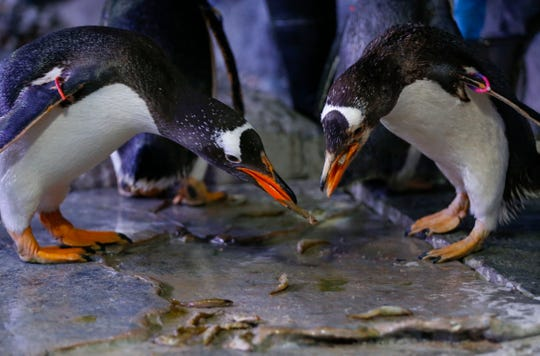 The Wonders of Wildlife National Museum unveiled a new experience on Thursday, Nov. 14, 2019 that takes visitors inside the penguin exhibit, providing them an up-close look at Gentoo penguins.