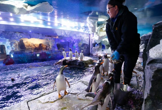 Caitlin McHaffie, lead penguin keeper at Wonders of Wildlife National Museum, tosses fish into the water for penguins to eat on Thursday, Nov. 14, 2019. WOW unveiled a new experience that takes visitors inside the penguin exhibit, providing them an up-close look at Gentoo penguins.