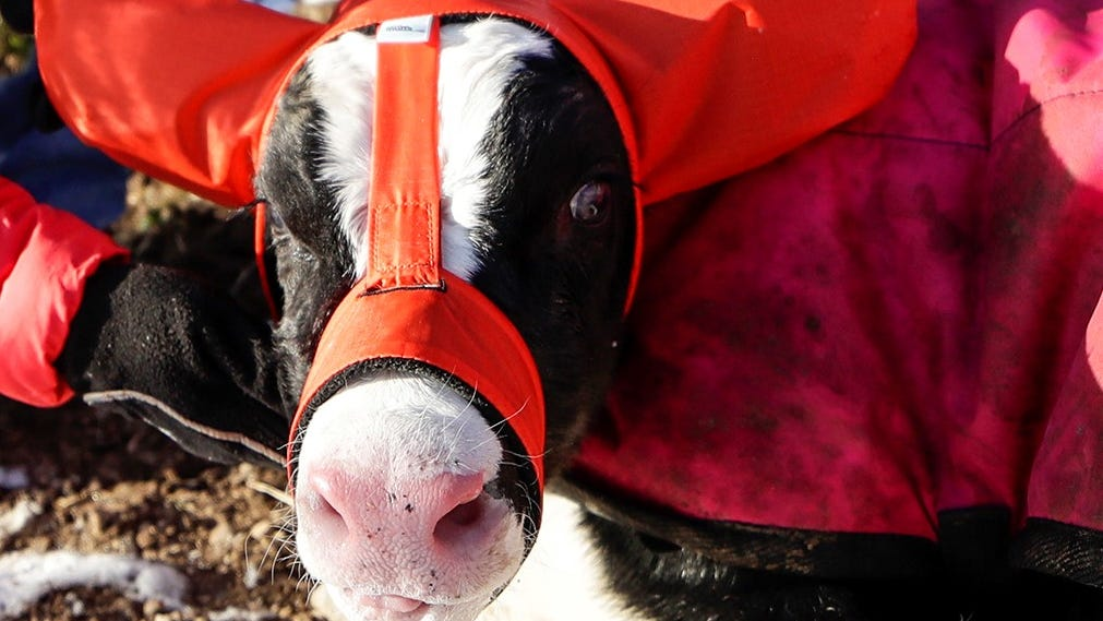 Ear muffs for calves? Yes, that's a thing thanks to this Wisconsin farmer.