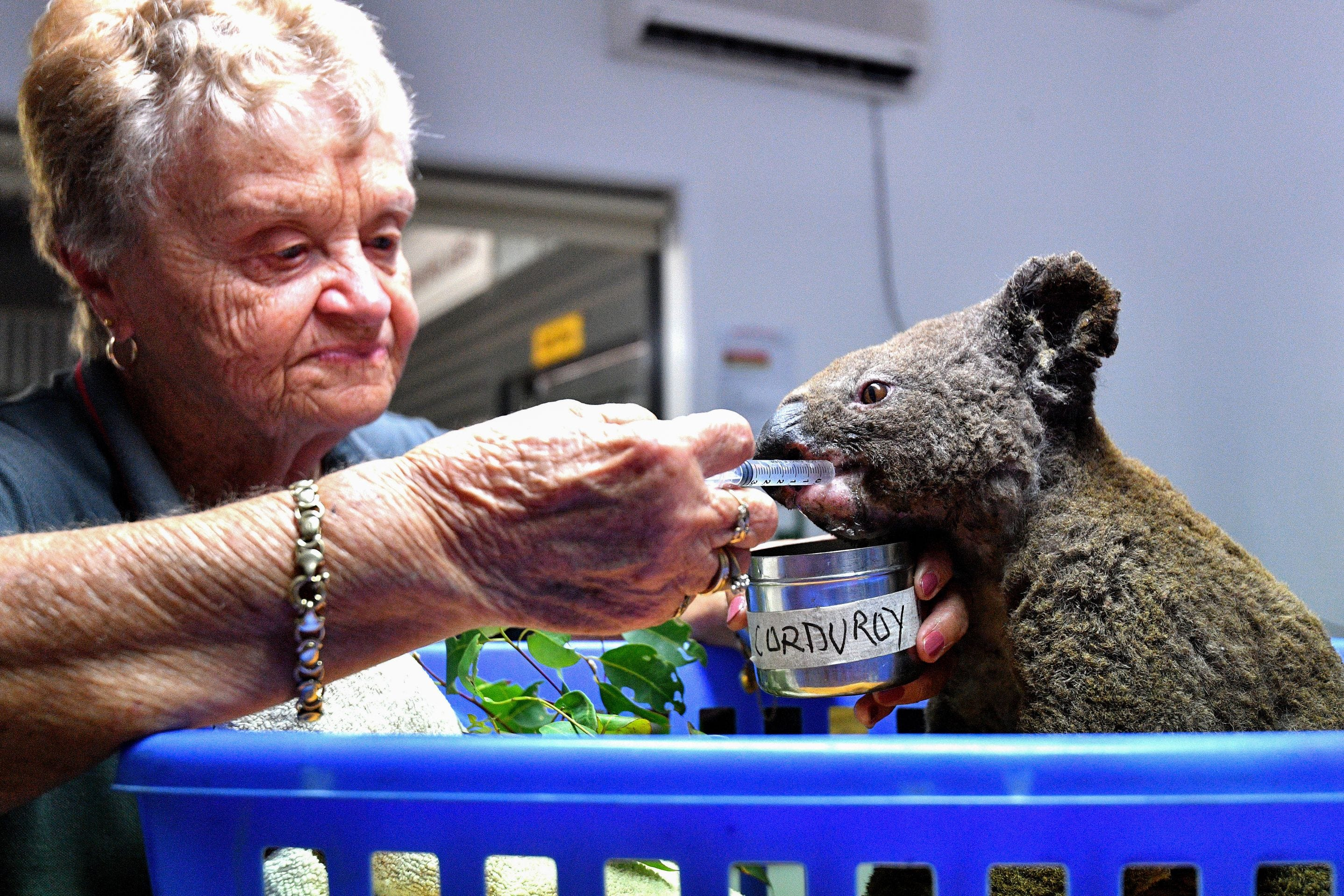 Koala dubbed Ellenborough Lewis clings to life 4 days after viral video of daring rescue
