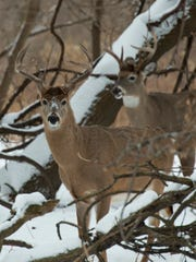 Two Whitetail Bucks in the winter