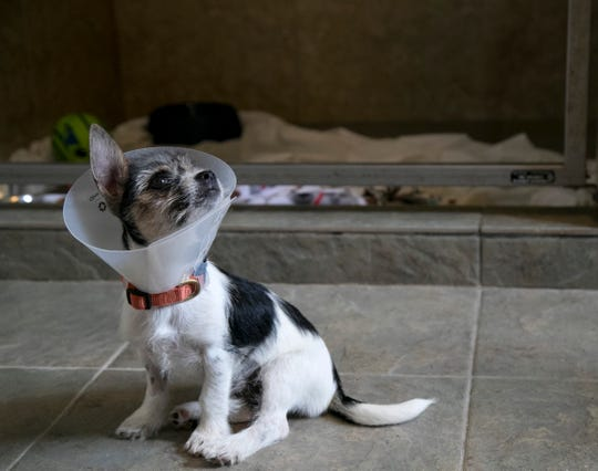 Winifred, one of the puppies at Animal Refuge Center (ARC) in North Fort Myers, is recovering from being spayed.