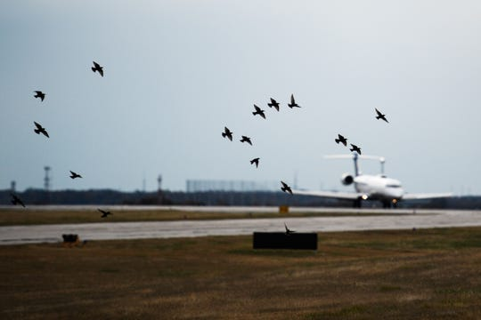 A flock of birds fly as an aircraft approaches at Greenville-Spartanburg International Airport Friday, Nov. 15, 2019.