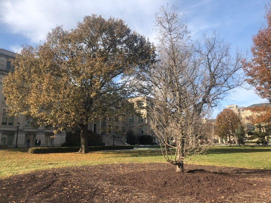 A 15-year-old European Larch rests after it was planted to replace the old Larch, which fell in a September storm, Nov. 15, 2019, on the University of Iowa campus.