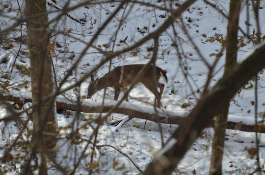 A doe paws through the woods near Lake Macbride State Park after the Veteran's Day snowfall in this photo contributed by retired DNR information specialist Joe Wilkinson of rural Solon.