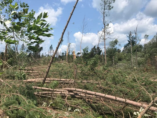 Red pines and other trees damaged in a July 2019 storm are strewn across a section of the Chequamegon-Nicolet National Forest near the Town of Langlade in Langlade County, Wis.