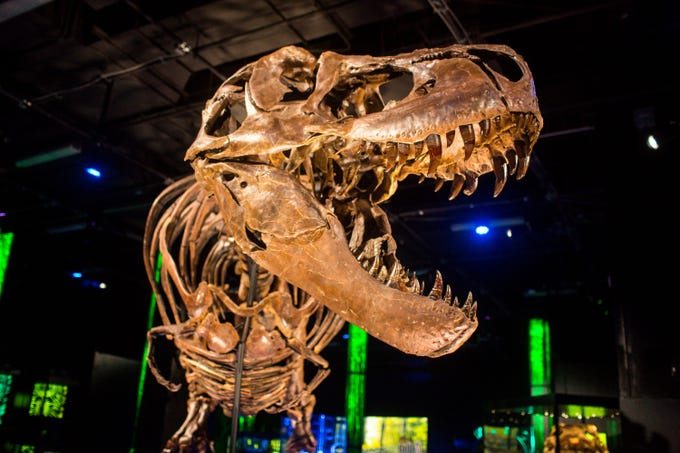 Victoria, the largest and most complete touring T. rex in the world, is shown at a preview event Friday, Nov. 15, 2019, at the Arizona Science Center, her first stop on the tour and where she will be open to the public from Nov. 17 through May 25.