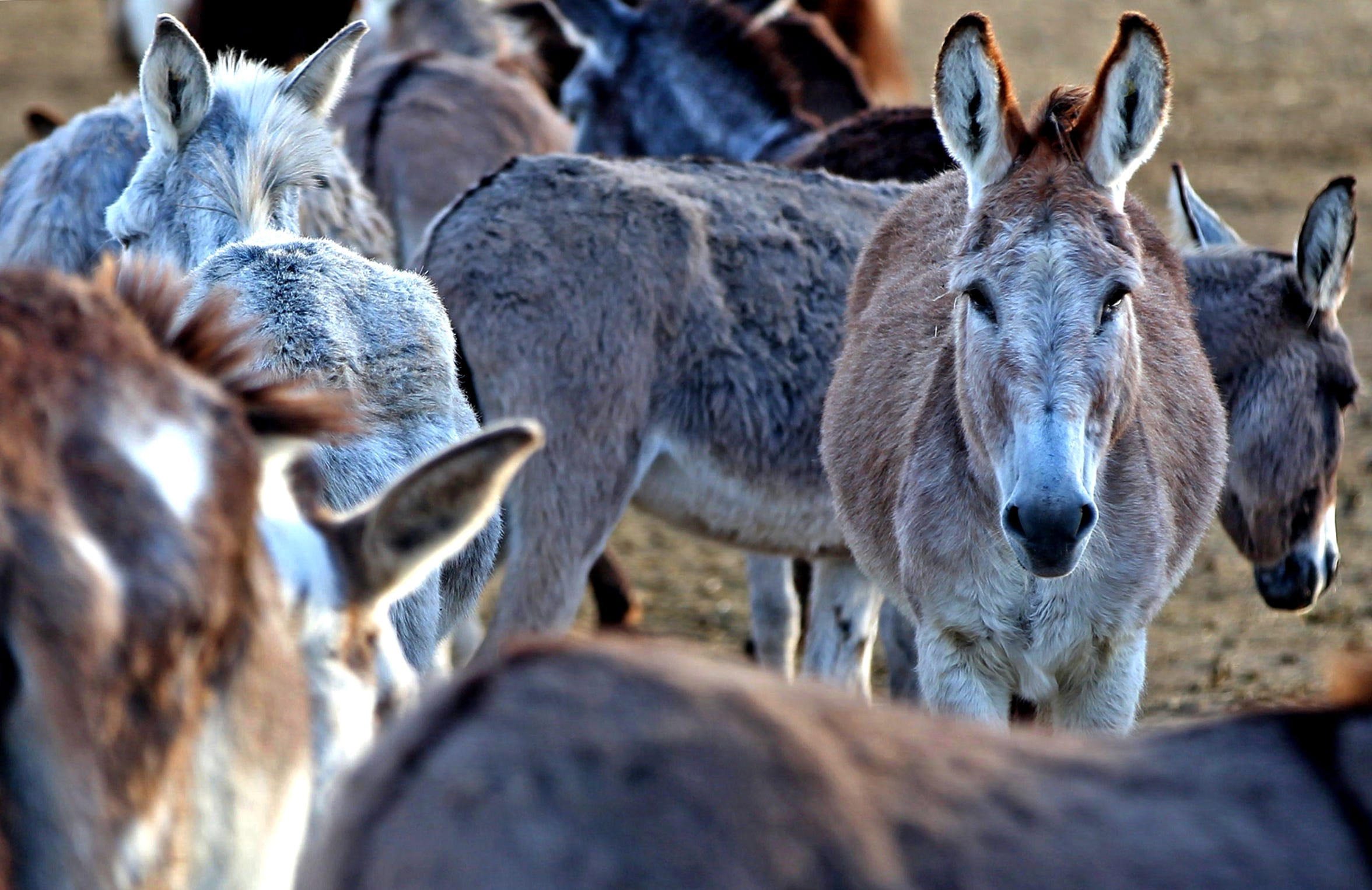 Donkeys roam an enclosure at the Peaceful Valley Donkey Rescue in San Angelo on Tuesday, Nov. 12, 2019.