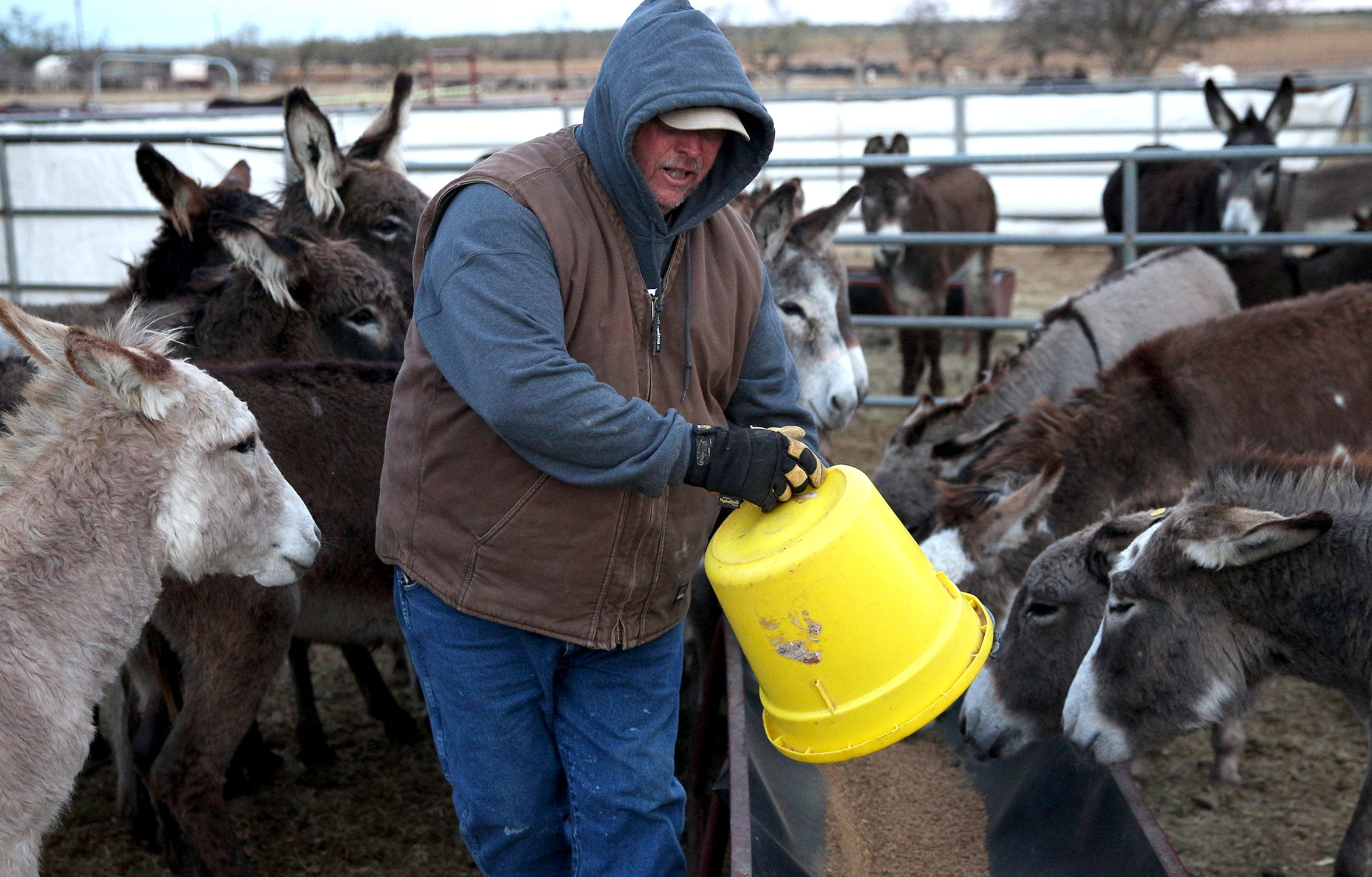 Randall Parker feeds donkeys at the Peaceful Valley Donkey Rescue on Tuesday, Nov. 12, 2019.