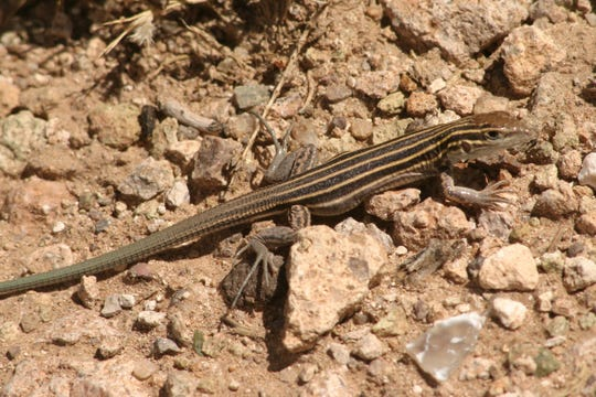 The desert grassland whiptails can only be found in limited pockets of Texas.