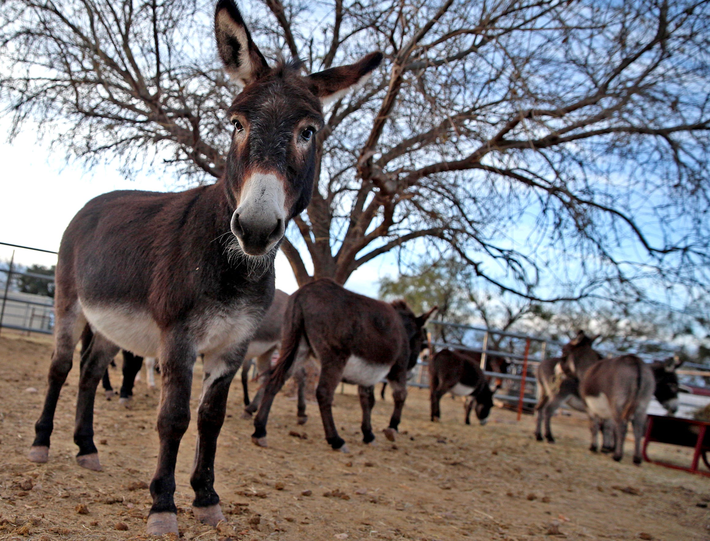 Donkeys gather for feeding time at the Peaceful Valley Donkey Rescue on Tuesday, Nov. 12, 2019.