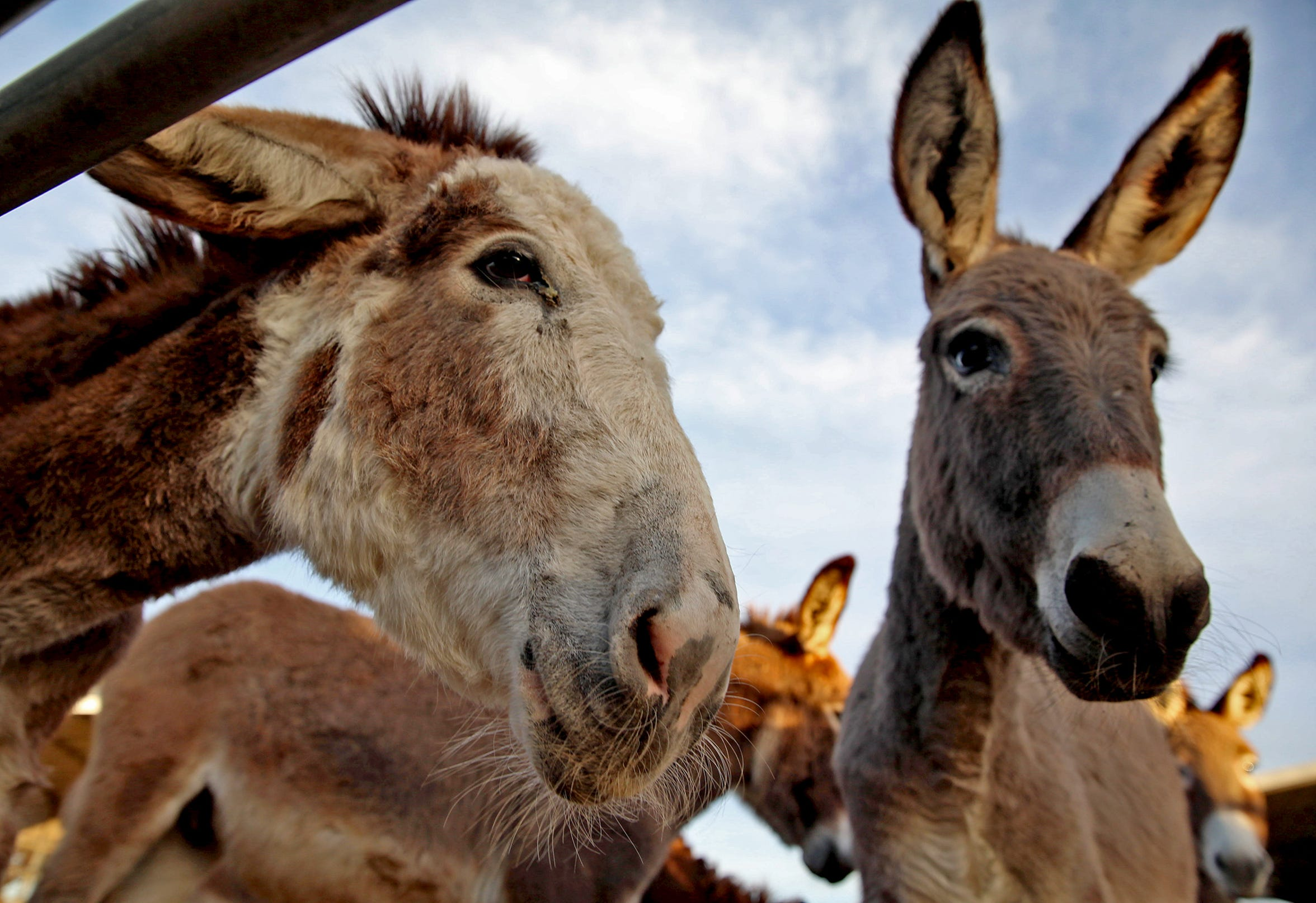 Donkeys roam an enclosure at the Peaceful Valley Donkey Rescue on Tuesday, Nov. 12, 2019.