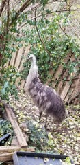 Charlie the emu was hatched in April 2018 by Jeff Norman and his late wife Jil Norman.