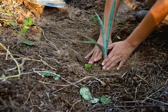 A volunteer plants agave in Parque La Colorada in Álamos, Sonora, on Oct. 4, 2019.