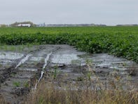 FILE - This Oct. 9, 2019 file photo shows a sugar beet field near Stephen, Minn. Minnesota Gov. Tim Walz asked U.S. Agriculture Secretary Sonny Perdue on Thursday, Nov. 7, 2019, to declare a disaster for 12 counties of northwestern Minnesota where farmers are struggling through a very difficult harvest season.