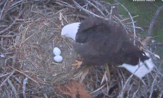 With two eggs now laid, the productive North Fort Myers eagle couple of Harriet and M15 will now incubate and care for their prospective offspring for the next 30 to 35 days.