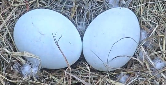 HArriet and M15, a productive eagle pair in North Fort Myers, have now produced two eggs for the 23019 nesting season.