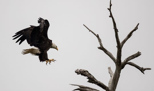 This bald eagle hung around the nest of Harriet and M15 for several hours on Sunday causing Harriet to become agitated and at one point lunge at the other bird. M15 returned after an absence of several hours and chased the intruder from the nesting tree.