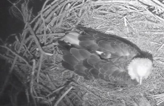 Harriet and M15, the eagle pair in North Fort Myers that produced the first egg of their 2019 nesting season on Tuesday added to their shell-bound brood Saturday, producing a second egg. Here Harriet rests while incubating the eggs Sunday morning.