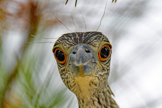 A Yellow-Crowned Night Heron is pictured at Fort Pickens.