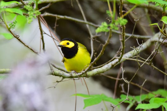 A Hooded Warbler is pictured at Fort Pickens.