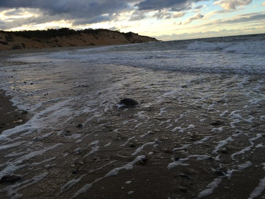 A cold-stunned sea turtle is shown in a picture from the federal National Oceanic and Atmospheric Administration.