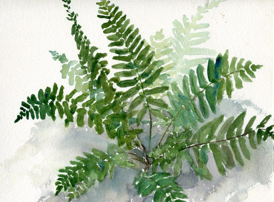A Christmas fern is depicted in this illustration by Elizabeth Ellison.