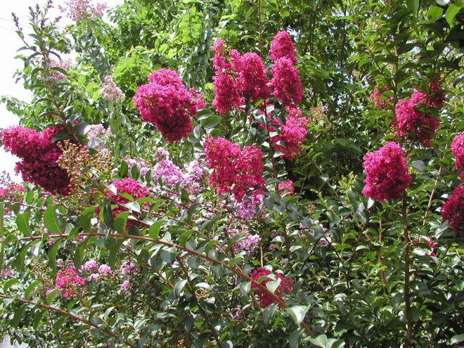 Crape myrtles have beautiful, showy blossoms and come in a variety of heights.