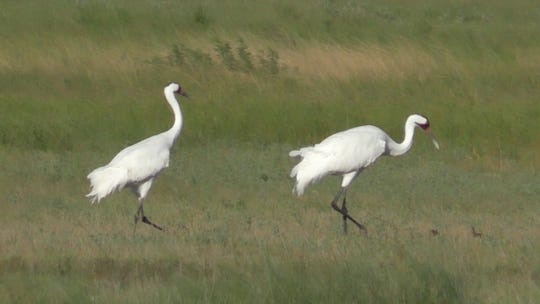 The first cranes of the season arrived in Texas in mid-October, earlier than the flocks usual November arrival, and were spotted at two of the Coastal Bend's natural spaces, the Aransas Pass Wildlife Refuge and Goose Island State Park.