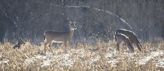 Deer forage for food near Walnut Woods Park in West Des Moines in 2016. Rodney White/Register photos