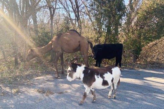A camel, donkey and a cow found roaming together along a road near Goddard, Kan. After the police asked for help over social media, authorities have learned the animals belonged to an employee of the nearby Tanganyika Wildlife Park.