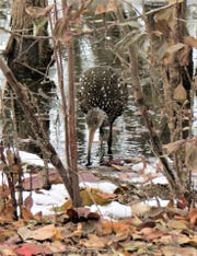 A winter siting of a limpkin in the Ottawa National Wildlife Refuge near Oak Harbor.