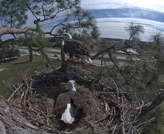 "On Monday morning things at the eagle nest in North Fort Myers seemed to go back to normal  after a bit of birding drama Sunday with Harriet sitting on the eggs and M15 perched on the edge of the nest with the remains of a squirrel he brought to the nest for ""breakfast."""