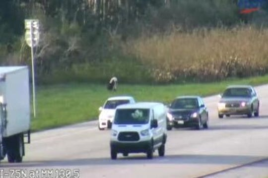 The Florida Highway Patrol alerted motorists traveling along southbound I-75 Monday of a cow wandering the shoulder.