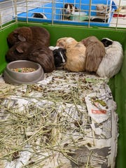 The SPCA of Tompkins County is currently caring for hundreds of domesticated rats, mice and Guinea pigs recently found abandoned at two sites in Danby and Dryden.