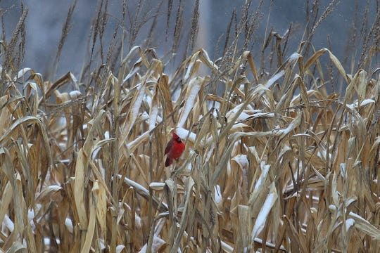 Although there are several types of cardinals, the northern is the most popular. Cardinals can be found year round, as they do not migrate.