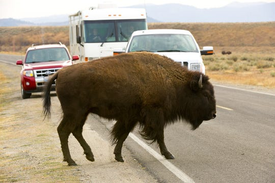 Some explorers may come face-to-face with buffalo crossing the road in Grand Teton National Park.