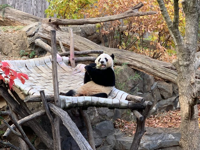 Bei Bei, a panda born at the National Zoo in Washington, D.C. four years ago, will travel to China on Tuesday as part of a breeding and research program.