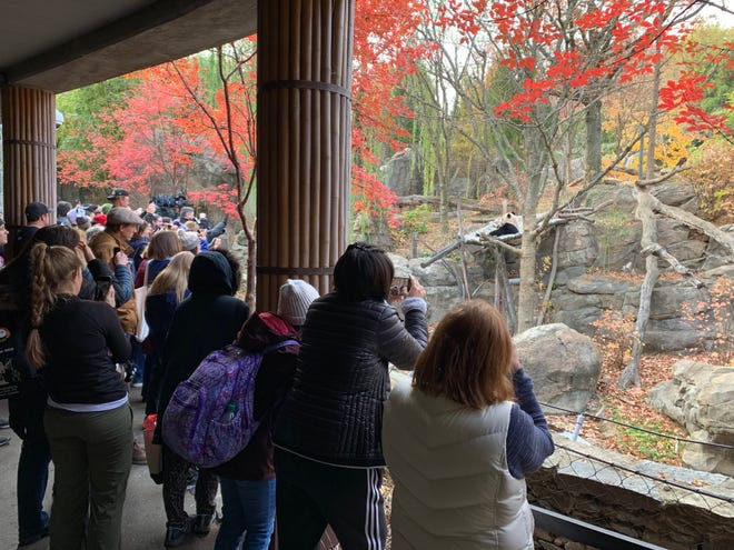 Visitors at the National Zoo in Washington, D.C., watch as Bei Bei enjoys a snack on Nov. 18, 2019.