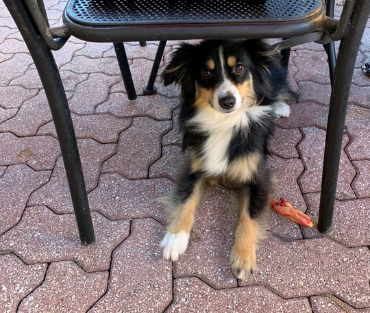 Layla, a 2-year-old miniature Australian Shepherd, is in training to become a therapy dog, which isn't the same as a service dog.